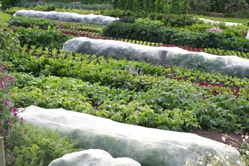 View of the top field in late August, meshed beds have carrots and brassicas