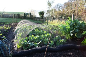 Spring cabbage planted late September, netted against pigeons