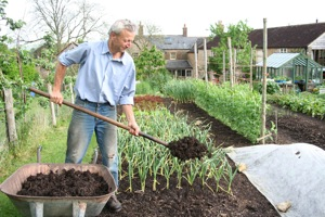 Spreading compost in May after clearing winter cauliflower