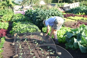 Securing cloche hoops and a net over spring cabbage plants