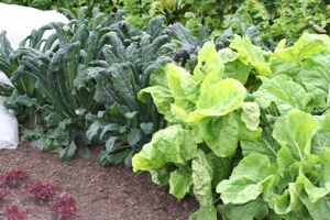 Tree Cabbage and Cavalo Nero kale benefited from being covered with mesh for eight weeks, cabbage on left are still covered