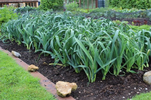 These leeks have grown under a mesh cover for two months without being weeded at all