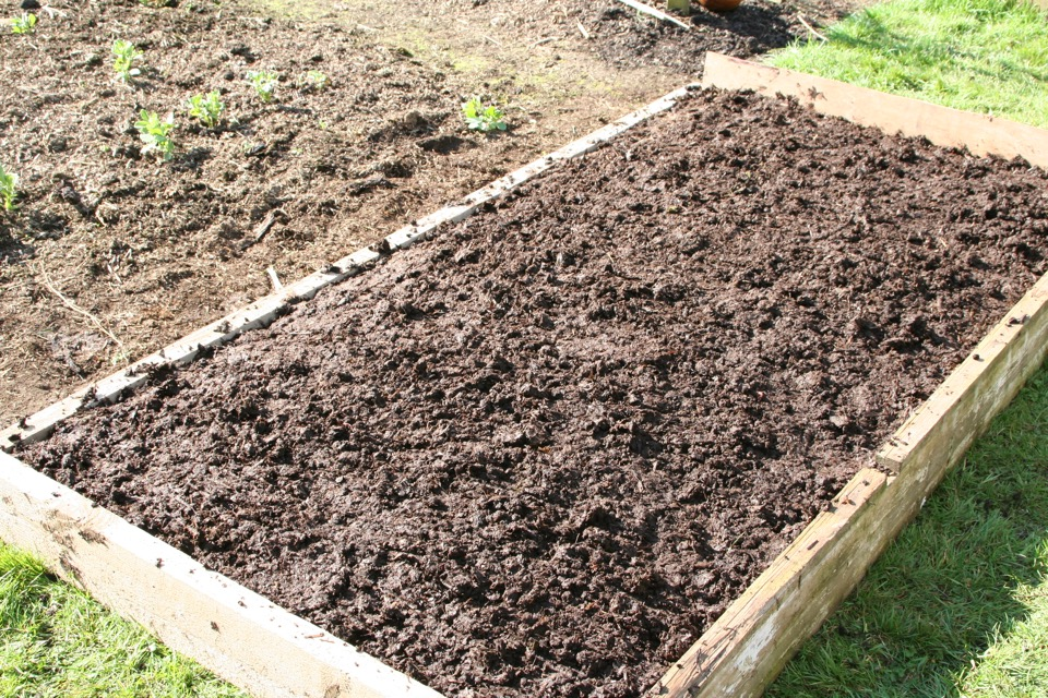 Mar162 2 On 19th Top Layer Cow Manure Spread And Trodden Lightly No Dig Organic Gardening
