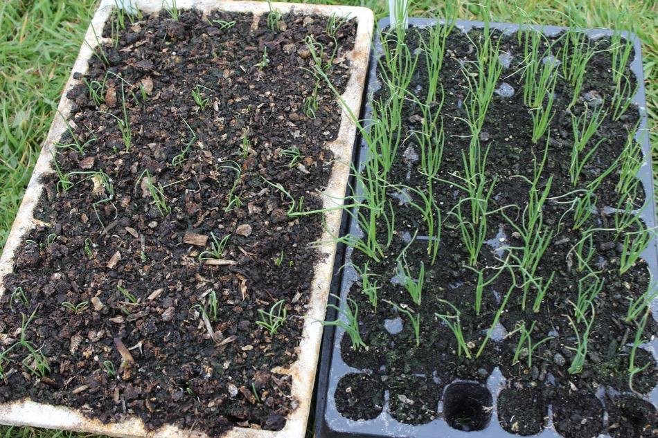 Mid april update 2016 no dig organic gardening for Mushroom soil