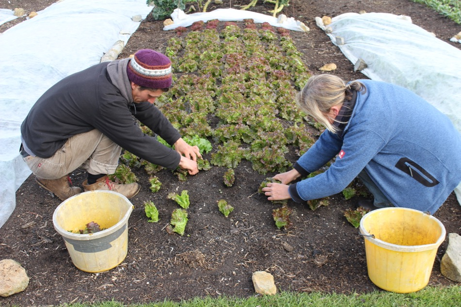 We rolled back the fleece to take a first harvest from these Grenoble Red lettuces, planted March from a February sowing, home saved seed