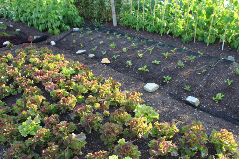 Lettuce picked 12 weeks, new planting of chard, narrow weed-free paths, no sides,