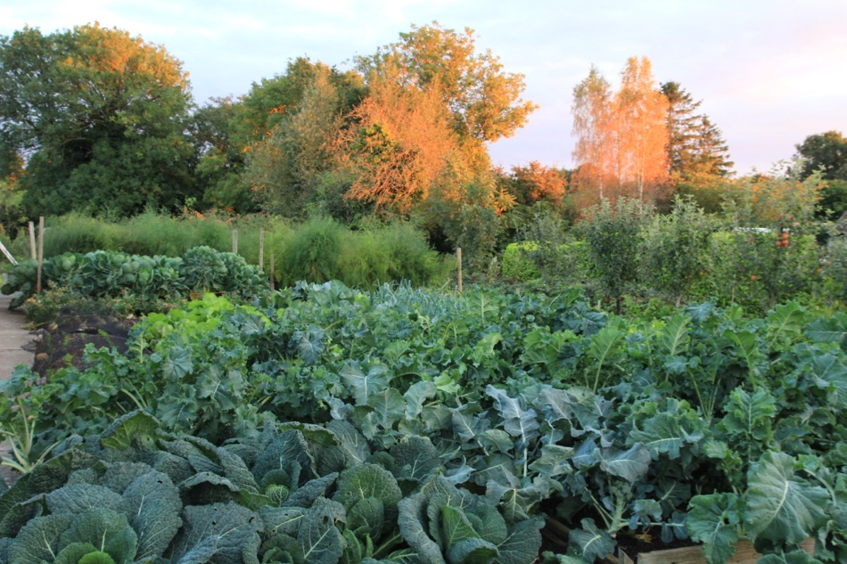 Autumn colours at Homeacres, broccoli in foreground was planted July