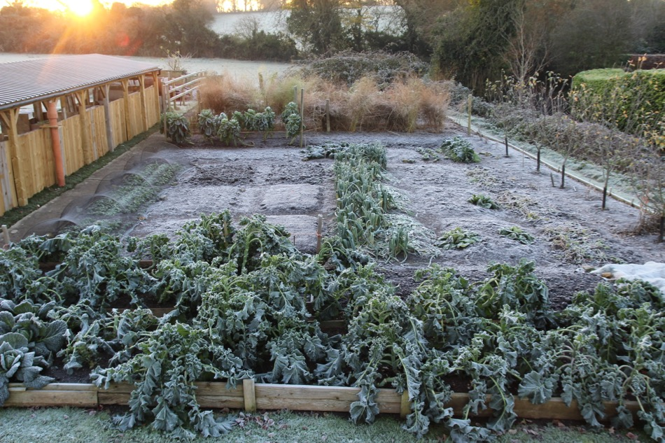 Broccoli and leeks are limp in frost
