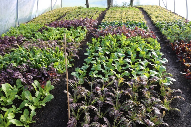 Salads polytunnel no dig, these will be here still in March for the course
