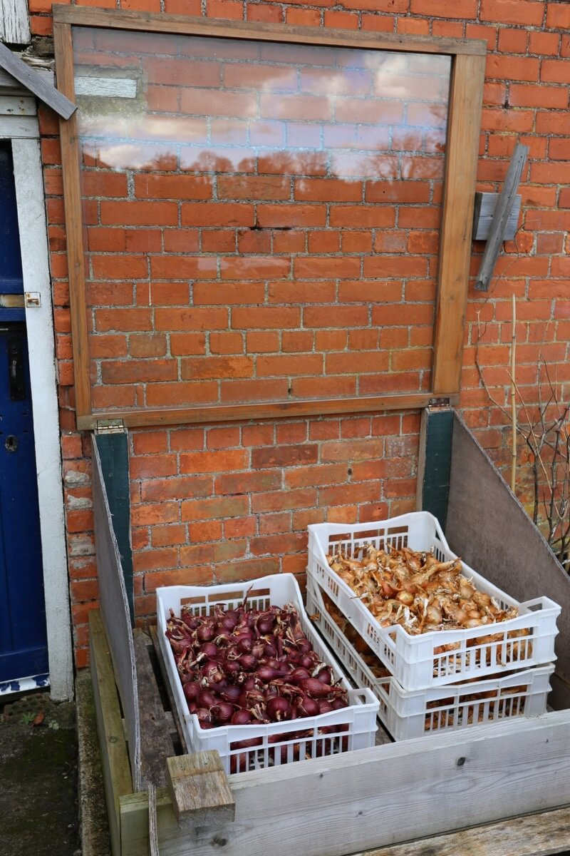 mar182 onions Sturon & Roja de Niort stored in cold frame 7 months ...