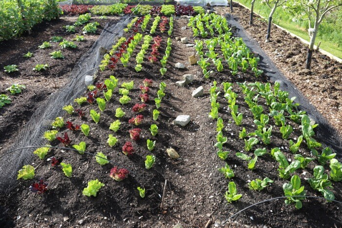 Trial beds of lettuce & spinach after first pick 10th May, Charles no dig trial