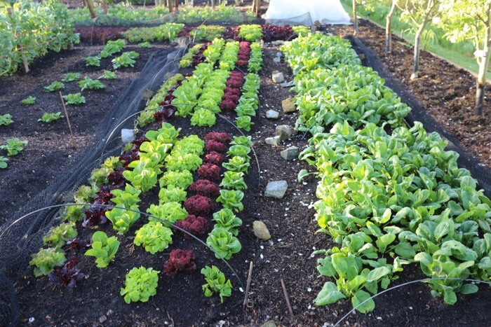 Trial beds of lettuce & spinach before first pick, Charles no dig trial