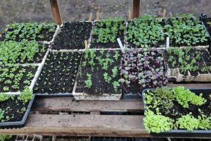 March vegetable seedlings in the greenhouse