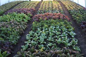 February salad, Homeacres no dig polytunnel