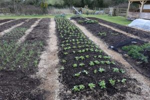 March broad beans & spring onion no dig