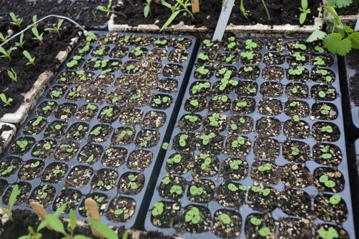 8 day old basil seedlings sown April