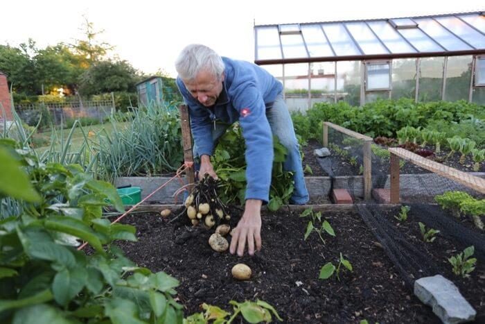 Charles Dowding pulls potatoes no dig