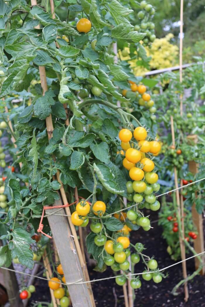 Outdoor tomato Dorada