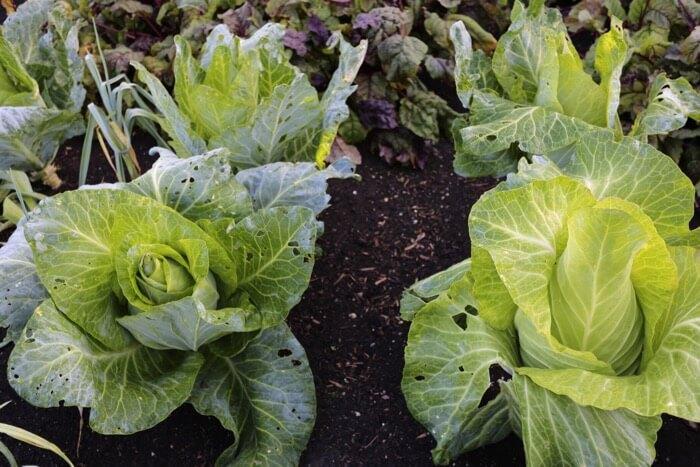 Cabbage hearts Filderkraut