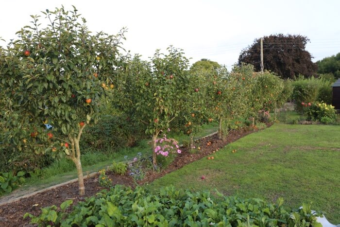 Six year old apple trees Charles Dowding