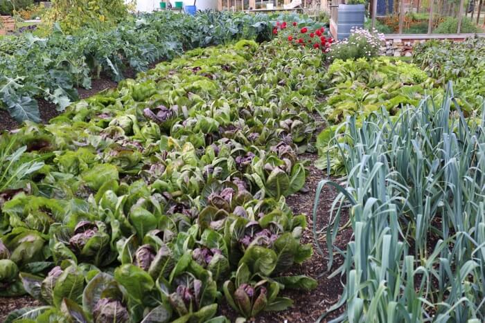 Chicory beds no dig, no weeds