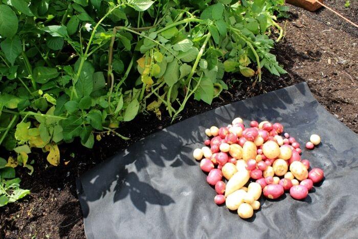 Apache, Rocket potatoes harvested