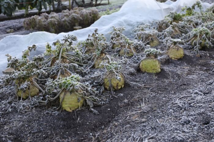 Celeriac ready to harvest in frost