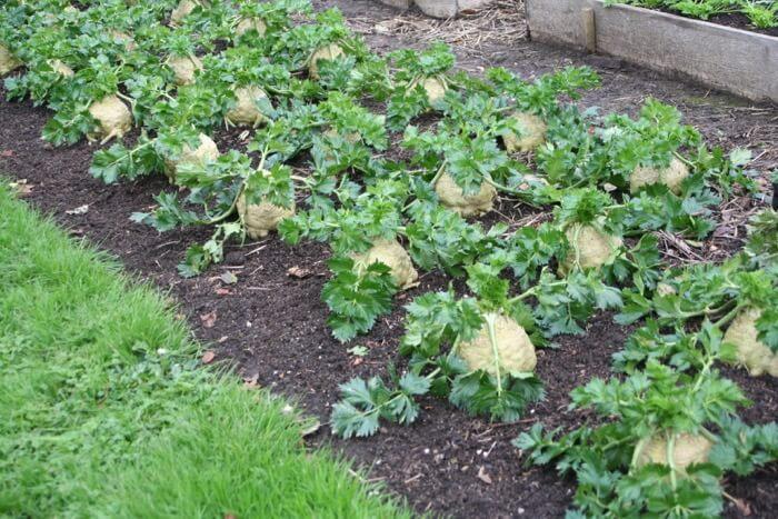 Celeriac swelling in autumn, no dig