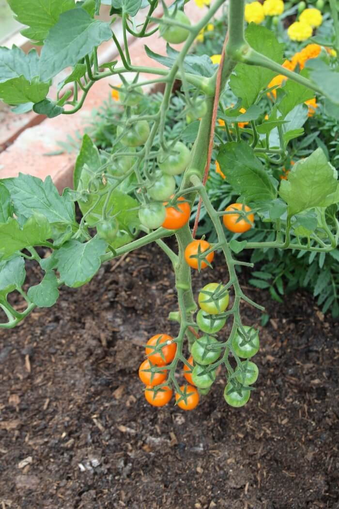 Early Sungold tomatoes greenhouse