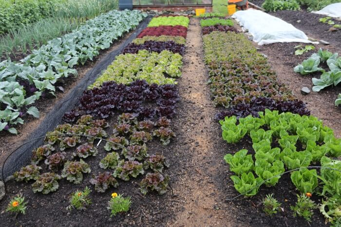 Lettuce beds June already picked 4 times