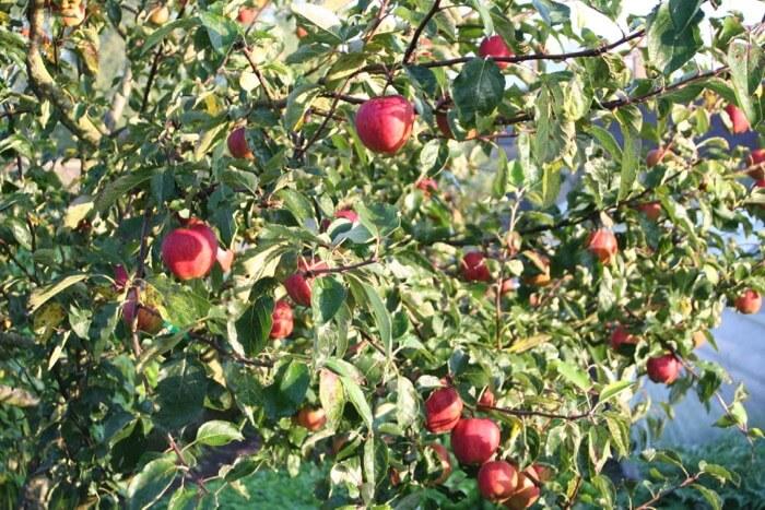 Jupiter apple trees