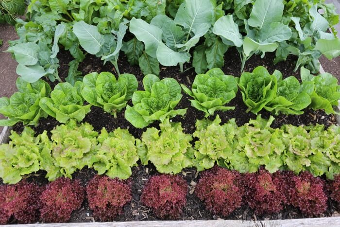 Lettuce by Charles Dowding many harvests