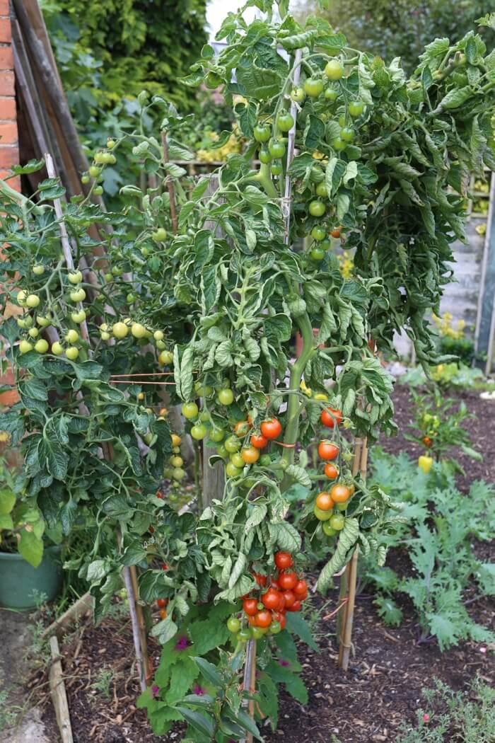 outdoor cherry tomatoes
