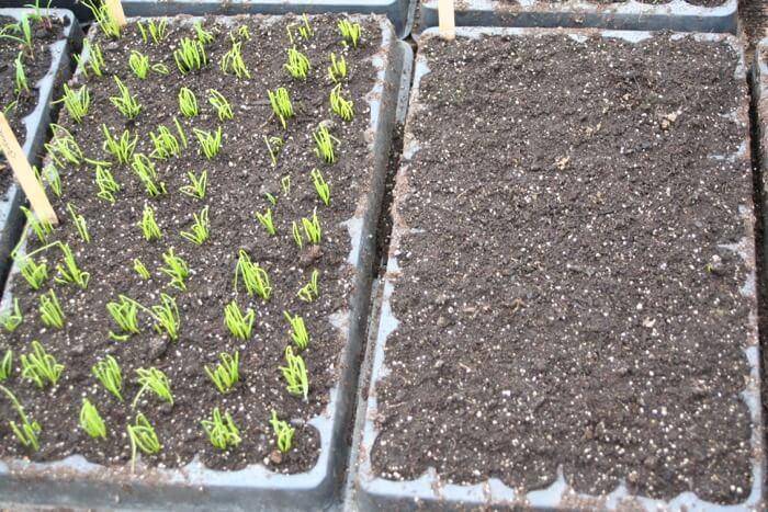 onion seed germination