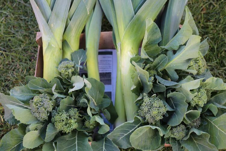 Harvest of leeks and broccoli Kaibroc