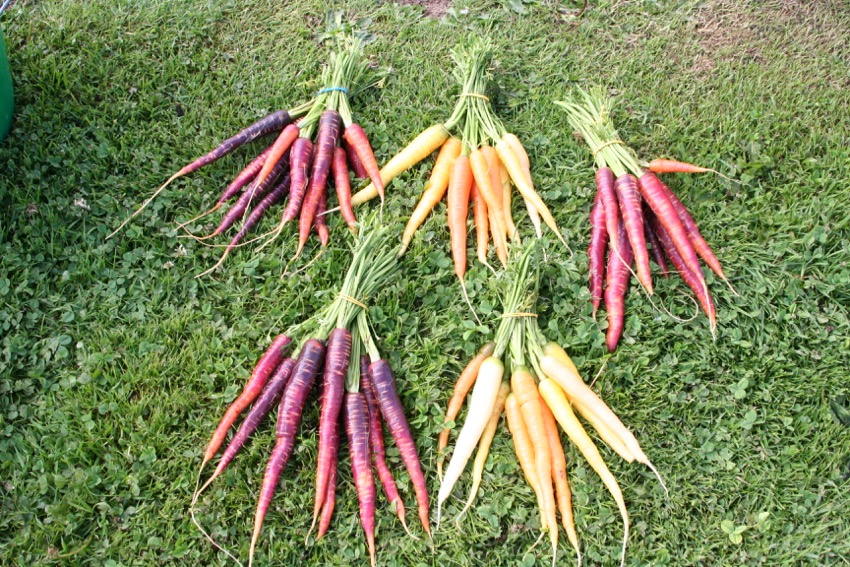 3. End July harvest of final and larger roots, Purple Haze & Rainbow: notice the length of fine roots, growing into clay