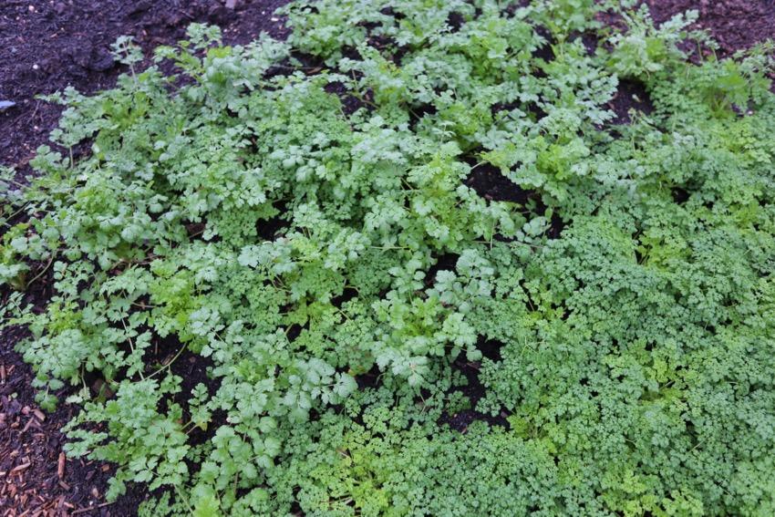 Outdoor coriander & chervil in December