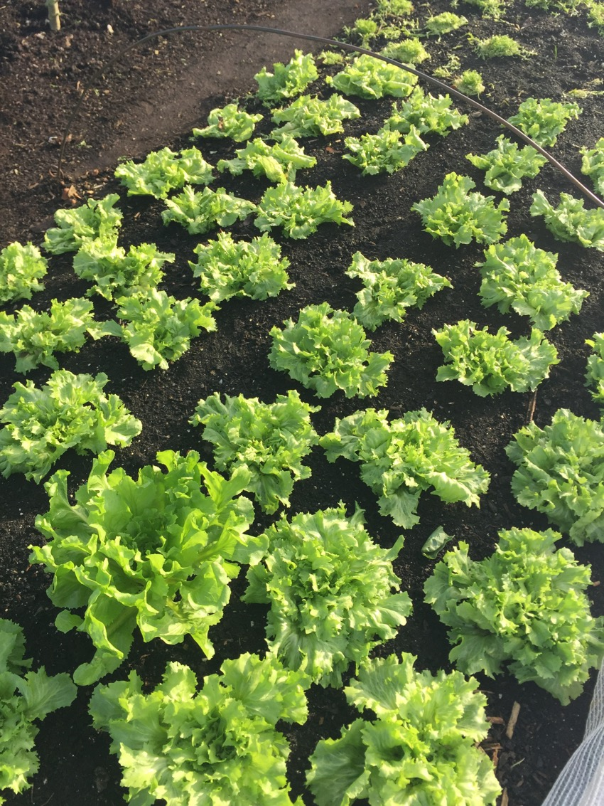 Endive second crop planted September, picked outer leaves