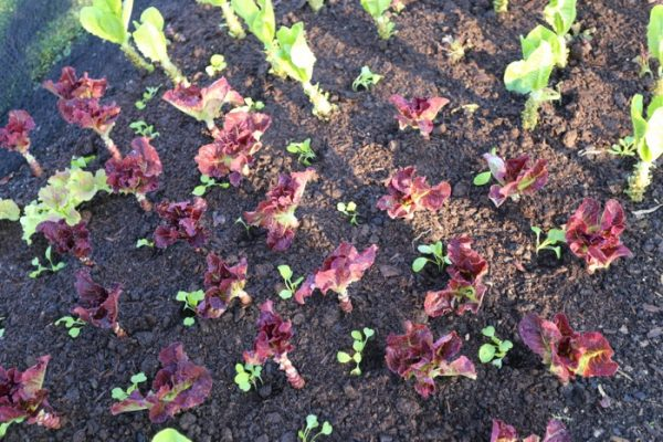 Salad interplants no dig