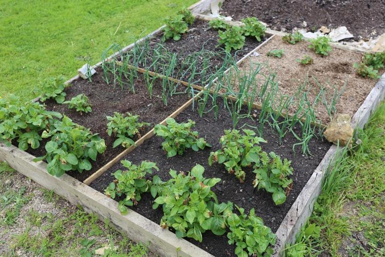 Compost trial Homeacres no dig