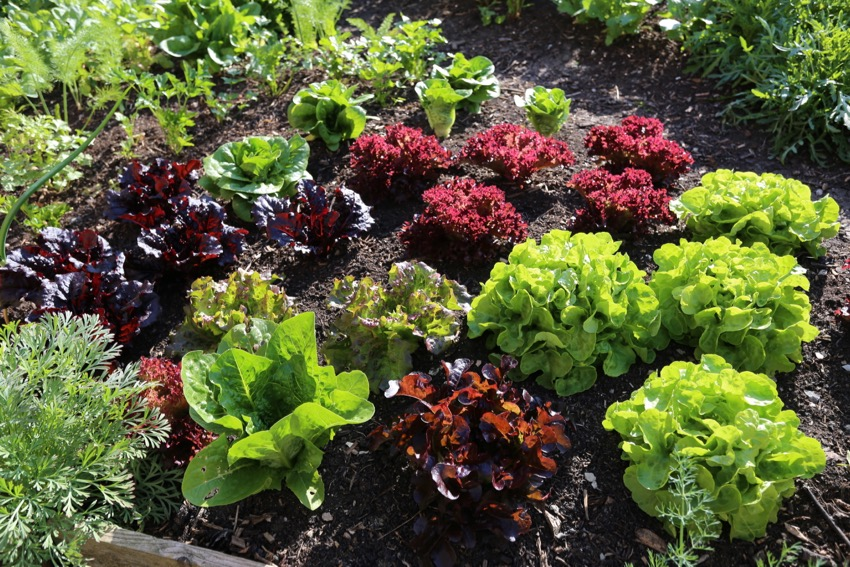 11. May 17th shows the mix of lettuce, just before their first pick of 0.75kg leaves