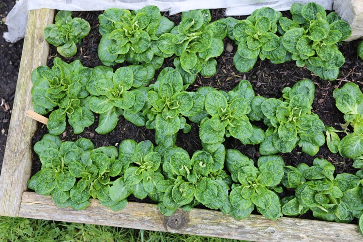 Lambs lettuce outdoors