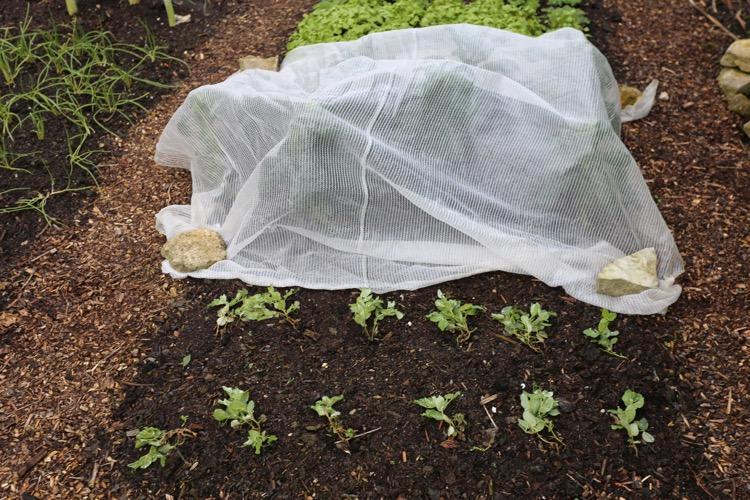 Pea plants, frotst damage