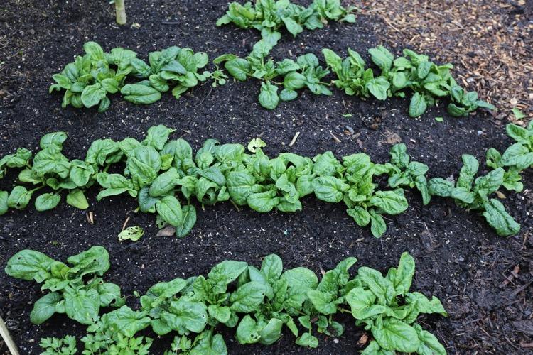 Spinach winter was inter-sown