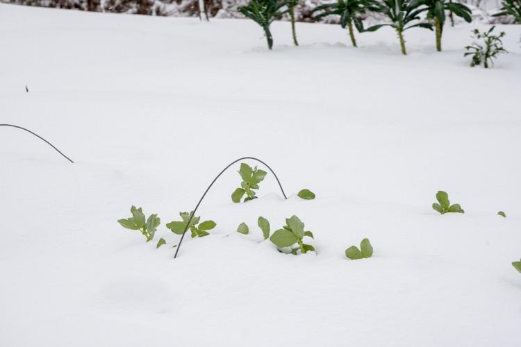 Broad bean plants in snow