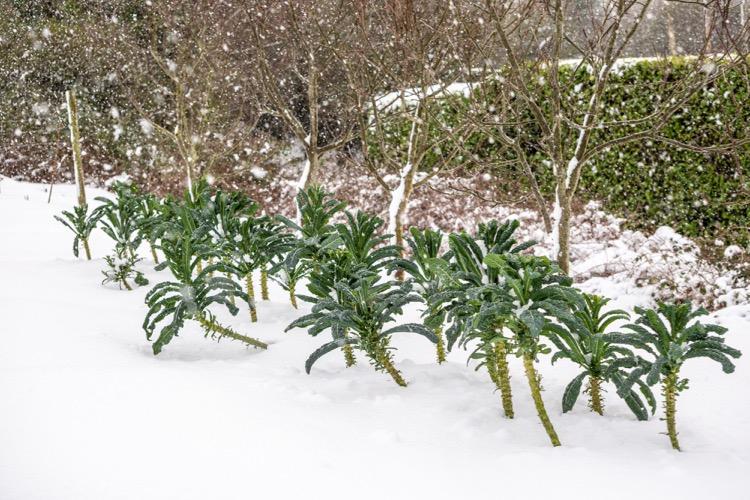 Kale in snow