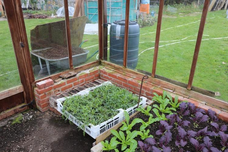 Wild rocket plants all winter in pots under cover