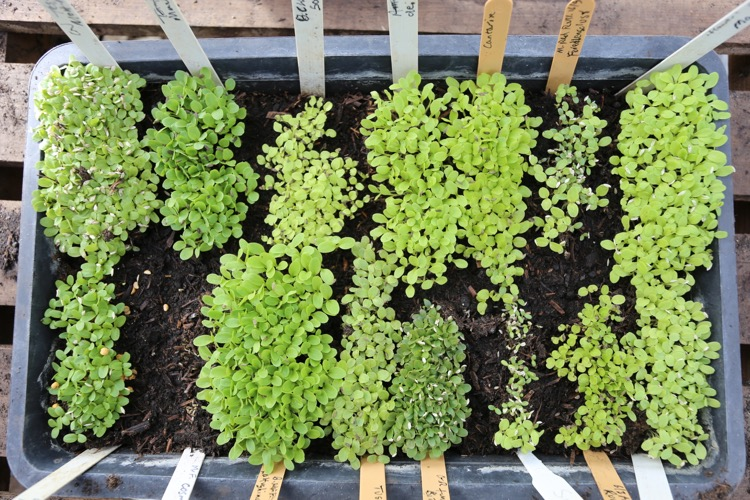 Tray of lettuce sown 9 days ago, 1500 seedlings