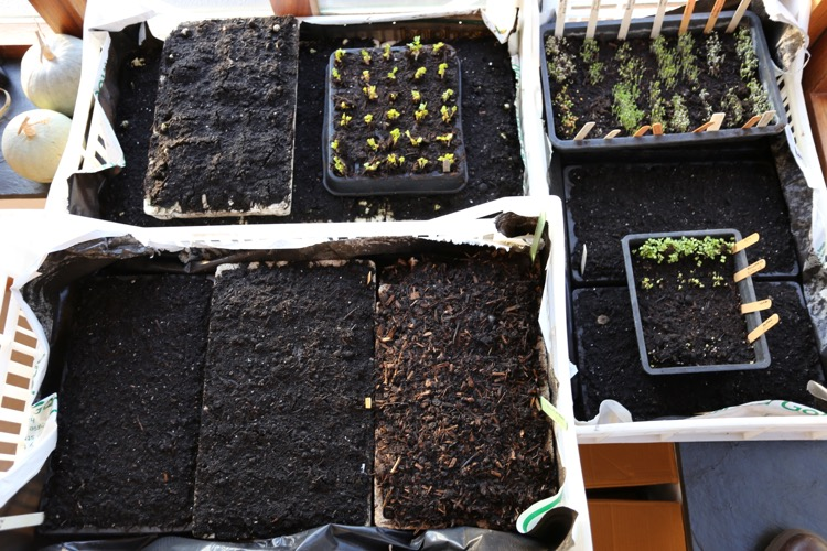 Seeds germinating on the windowsill, module trays