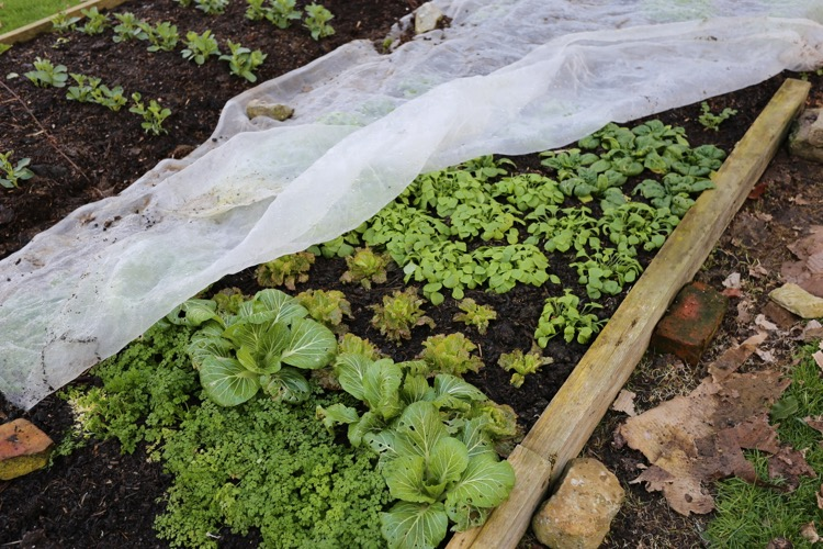 Salads growing strongly in the new bed